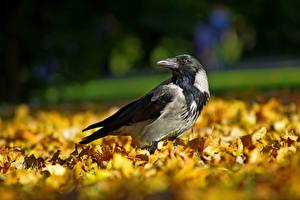 Картинка Осенние Птицы Вороны Листва Животные