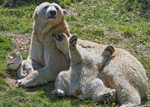 Фотография Медведи Северный Детеныши 2 Животные