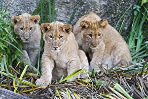 Фото Большие кошки Львы Детеныши Втроем