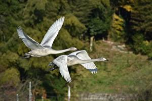 Фотография Птицы Гуси Вдвоем Полет Животные