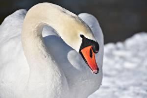 Обои Птицы Лебеди Крупным планом Клюв Смотрит Белый
