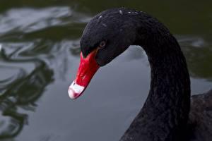 Картинка Птицы Лебеди Вблизи Черный Клюв