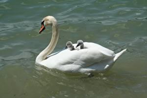 Фотография Птицы Лебеди Пруд Птенцы Белый Животные