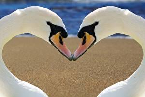 Фото Птицы Лебеди 2 Белый Клюв Сердечко Животные