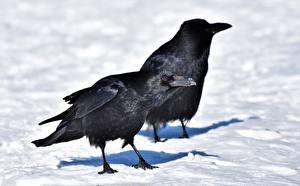Картинка Птицы Зимние Вороны Снег 2 Клюв Животные