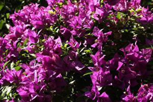 Картинка Бугенвиллия Вблизи Фиолетовый Цветы