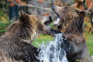 Картинки Медведи Гризли Крупным планом 2 Брызги Драка Животные