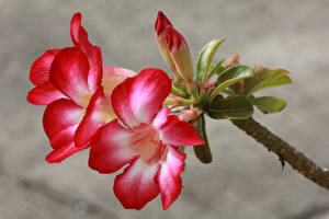 Картинка Кампсис Вблизи Бутон Цветы