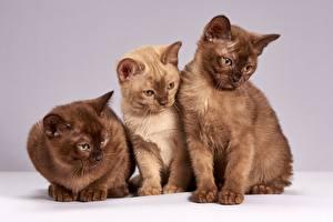 Обои Кошки Втроем Трое 3 Животные