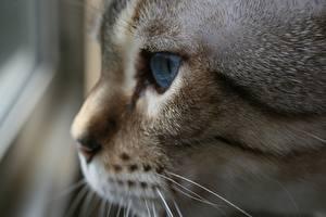 Картинка Коты Вблизи Усы Вибриссы Морда Смотрит Животные