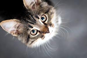 Фото Кошки Глаза Сером фоне Морды Смотрят животное