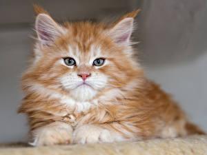 Фотографии Кошки Котята Смотрит Рыжий Животные