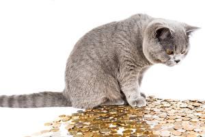 Фото Коты Деньги Монеты Рубли Взгляд Белый фон Животные