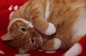 Фотография Кошки Лапы Взгляд Рыжий