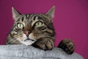 Картинка Коты Лапы Морда Смотрит Животные