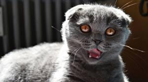 Картинки Коты Шотландская вислоухая Смотрит Серый Морда Животные