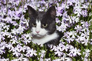 Фотография Кошки Морда Смотрит Голова Животные