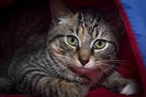 Картинки Коты Морда Взгляд Усы Вибриссы Животные
