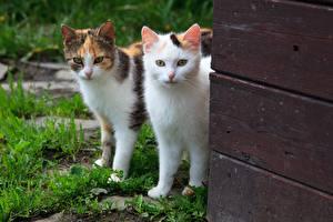 Фотографии Коты Двое Доски Взгляд животное