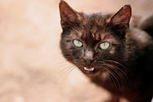 Обои Коты Усы Вибриссы Морда Взгляд Животные