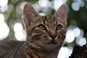 Фотография Коты Усы Вибриссы Морда Смотрит Голова Животные