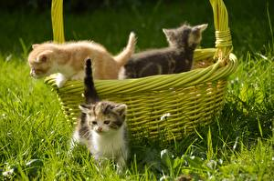 Фотографии Кошка Корзина Траве Котят Три животное
