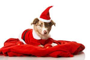 Картинка Рождество Собаки Белый фон Шапки Униформа Животные