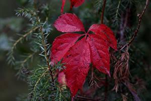 Картинка Вблизи Листва Красный Природа