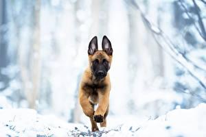 Картинка Собаки Бег Щенков Овчарка Malinois