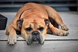 Фото Собаки Бульдог Лапы Морда Взгляд Животные