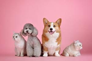 Картинки Собаки Кошки Розовый Пуделя Смотрит Вельш-корги Животные