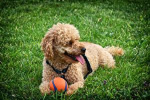 Фотографии Собаки Пудель Мяч Траве животное