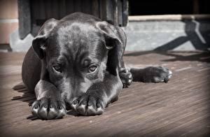 Фотография Собаки Щенок Лапы Взгляд Черный