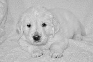 Фото Собаки Щенок Ретривер Белый Морда Взгляд Животные