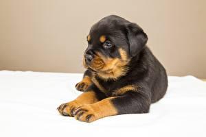 Фотографии Собака Ротвейлер Щенков Лапы Смотрит Животные