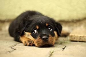 Картинка Собаки Ротвейлер Щенка Морды Взгляд Милый Животные
