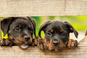 Фотография Собаки Ротвейлер Доски 2 Щенок Лапы Морда Смотрит Животные