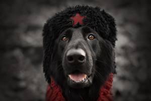 Фотографии Собака Морда Шапка Русские Голова Животные