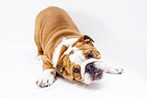 Фото Собака Белом фоне Бульдога Лапы Смотрит