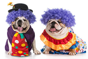 Обои Собаки Белый фон 2 Бульдог Шляпа Галстук Волосы Клоун Животные