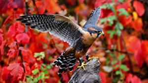 Картинки Сокол Птицы Крылья Aplomado животное