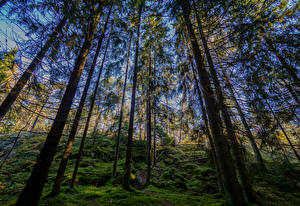 Картинки Финляндия Хельсинки Леса Деревья Мох Kasaberget Forest Природа
