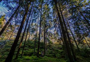 Картинки Финляндия Хельсинки Леса Деревья Мох Kasaberget Forest