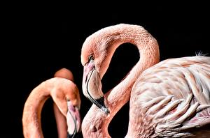 Фотографии Фламинго Вблизи Черный фон Клюв