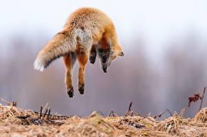 Фотографии Лисица Прыжок Животные
