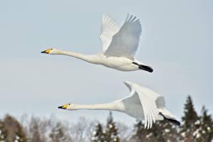 Фото Гуси Птицы Двое Полет Белый Животные