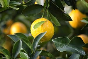 Картинки Лимоны Капли Листва Желтый Пища