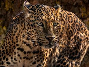 Картинки Леопарды Морда Взгляд