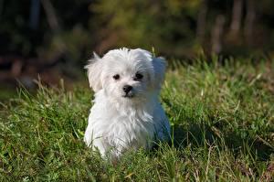 Обои Мальтийская болонка Собака Трава Щенка Белые Смотрит Животные
