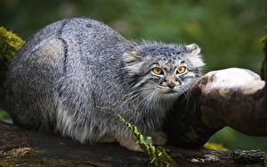 Фото Манул Взгляд Животные